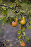 Pears. Harvest ripe pears from the garden Stock Images