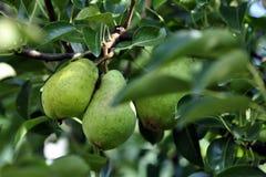 Pears i tree Royaltyfria Bilder