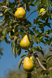 Pears. Juicy pears hanging on a tree in an orchard Stock Photo