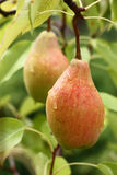 Pears among leaves. Royalty Free Stock Photo