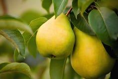 pears mogna två Arkivbilder