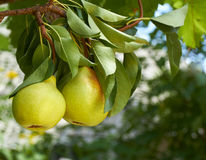 Pears on natural background Royalty Free Stock Photos