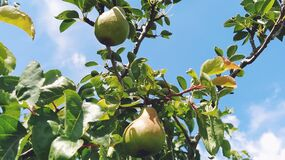 Free Pears On A Branch. Several Fruit Fruits, Ready To Be Harvested And Consumed. Garden Plants. Ripe Pear In The Garden Or Farm Stock Photography - 195116442