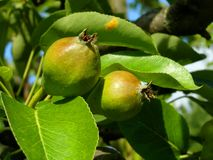 Pears in orchard Stock Photography