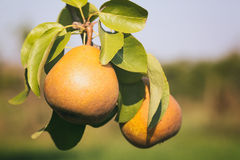 Pears in Orchard Farm Stock Photo
