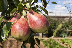 Pears in the orchard Stock Photo
