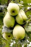 Pears på en tree Royaltyfri Fotografi