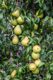 Pears på en tree royaltyfria foton