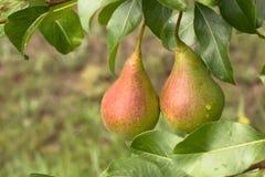 Pears på Tree Royaltyfri Foto