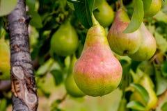 Pears på Tree Arkivfoto