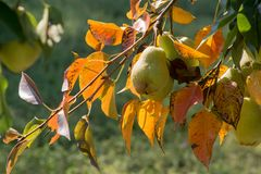 Pears på treen Fotografering för Bildbyråer