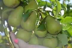 Pears på treen Arkivbild