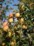 Pears på treen Royaltyfria Bilder