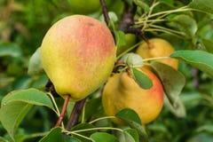 Pears på treen Arkivfoto