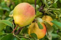 Pears på treen Royaltyfri Fotografi