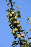 Pears på treen Royaltyfri Bild