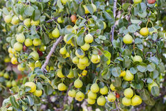 Pears. Pear tree branches full of pears Stock Image