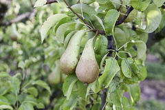 Pears in a pear tree Royalty Free Stock Image