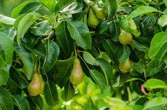 Pears and pear tree. Pear fruits hanging from the branches of a pear tree stock images