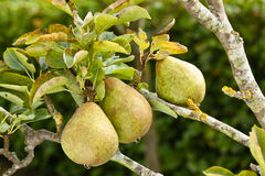 Pears ready for picking Royalty Free Stock Images