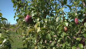 Pears on the Tree dolly shot 4K UHD stock video footage