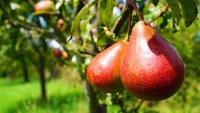 Pears stock footage
