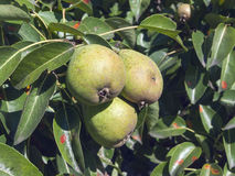 Pears. Ripe pears on a branch with leaves Stock Photos