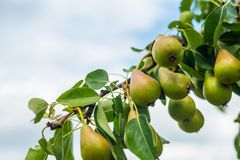 Pears ripen on a branch of a pear tree royalty free stock images
