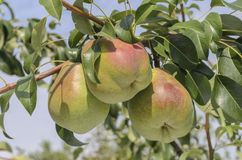 Pears ripen on the tree Stock Photo