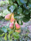 Pears Ripening on Tree Royalty Free Stock Photo