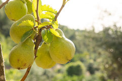 Pears ripening on a tree Royalty Free Stock Photos