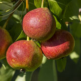 Pears. Rosada three pears on the tree, organic farming Stock Photography