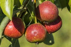 Pears. Rosada pears on the tree, organic farming Royalty Free Stock Photography