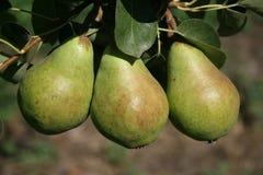 pears tre Arkivfoton