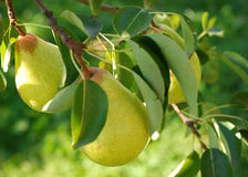 Pears on a tree Royalty Free Stock Photo