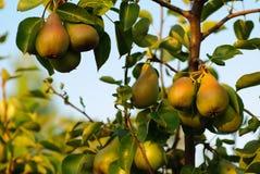 Pears on tree Stock Photos
