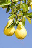 Pears on tree Stock Image