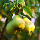 Pears on tree Royalty Free Stock Images