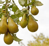 Pears on a tree Stock Photography