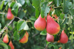 Pears on the tree Stock Images