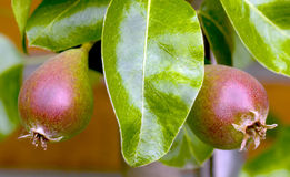 Pears on the tree Royalty Free Stock Images