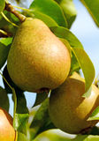 Pears on the tree. Royalty Free Stock Photography