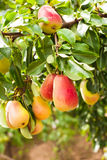 Pears on a tree Royalty Free Stock Images