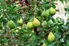 Pears on tree Stock Images