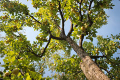 Pears on a tree Stock Image
