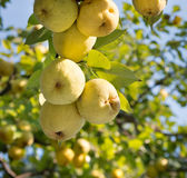 Pears on tree Royalty Free Stock Photo