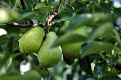 Pears in tree. Fresh green pears growing in a pear tree Royalty Free Stock Images
