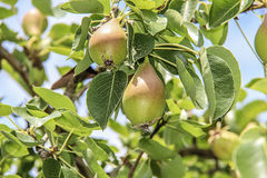 Pears on the tree. Beautiful ripe pears hanging on a tree Royalty Free Stock Photo
