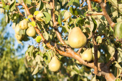 Pears on a tree branch Royalty Free Stock Photography