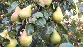 Pears on a tree branch. At the autumn garden stock video